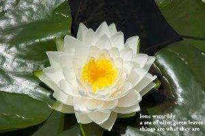 water lily haiku sm