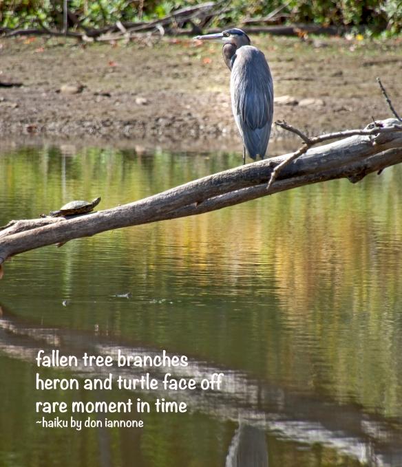 blue heron turtle.jpg