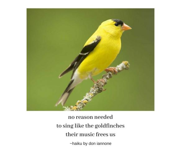 goldfinch haiku.png