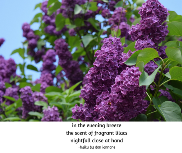 lilac haiku.png