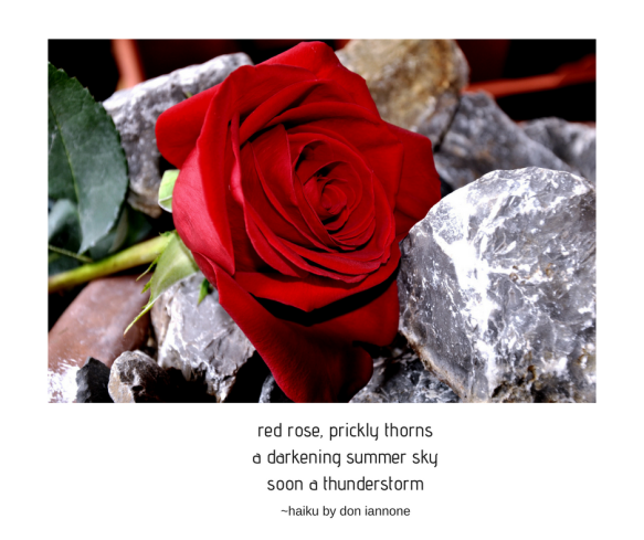 red rose haiku.png